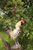 Rooster Perched on Stump by Rose Bush  (Breed- Creme Brabanter) Calamus  Iowa  USA