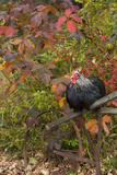 Bantam Black Cochin Rooster Perched on Handle of Old Wooden Plow