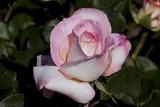 Tea Rose in Bloom  Santa Barbara  California  USA