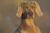 Weimaraner Sitting Along Side Pond with Reflections of Autumn Leaves in Early Morning Mist