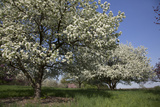 Flowering Fruit Trees in May  Lisle  Illinois  USA