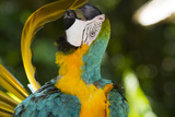 Blue and Gold Macaw Preening  Captive- S America