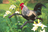 Iowa Blue Rooster Perched on Old Steel Plow Among Day-Lilies  Iowa  USA
