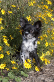 Chihuahua in  a Field of Flowers