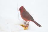 Northern Cardinal (Cardinalis Cardinalis) Male in Snow Storm  St Charles  Illinois  USA
