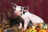 Spotted Piglet Sitting Among Oak Leaves and Autumn Gourds by Red Barn  Freeport  Illinois  USA