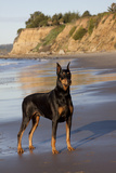 Male Doberman Pinscher Standing on Pacific Beach in Early AM  Santa Barbara  California  USA