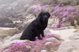 Black Labrador Retriever Sitting in Purple Mat Flowers on Coastal Rocks  Pacific Grove