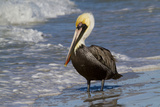 Eastern Brown Pelican (Pelecanus Occidentalis Carolinensis) Loafing at the Seashore  Gulf of Mexico