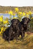 Pair of Female Labrador Retrievers in Early Morning October Light
