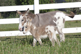 Miniature Donkey Mother with Foal in Green Pasture Grass  Middletown  Connecticut  USA