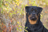 Rottweiler in Seashore Meadow Berries and Brush  Madison  Connecticut  USA
