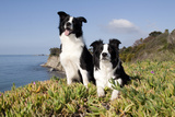 Border Collies in Ice-Plant on Bluff Overlooking Pacific Ocean  Goleta  California  USA