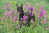Doberman Pincher Standing in Purple Flox  Geneva  Illinois  USA