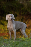 Weimaraner Standing by Pond in Autumn  Colchester  Connecticut  USA