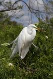 Great Egret (Ardea Alba) in Breeding Plumage  Osceola County  Florida  USA