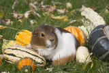Guinea Pig on Gourds in Grass  Higganum  Connecticut  USA