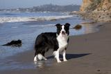 Border Collie Standing on Seashore  Santa Barbara  California  USA