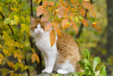 Yellow (Ginger) Cat in Autumn  Ledyard  Connecticut  USA
