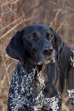 Portrait of German Shorthair Pointer Standing by Bush with Red Berries in Late November