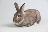 American Chinchilla Rabbit