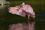 Sub-Adult Roseate Spoonbill (Platalea Ajaja) Stretching its Wings in Shallow Lake  Sarasota County