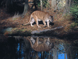 Florida Panther (Felis Concolor) Walking Past Pond in South Florida Woodland  Florida  USA