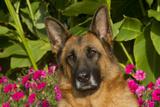 German Shepherd Dog (Female) in Early Autumn Flowers  Geneva  Illinois  USA