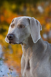 Portrait of Weimaraner Standing by Pond in Autumn  Colchester  Connecticut  USA