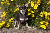 Short-Haired Chihuahua Among Yellow Wildflowers  Southern California  USA