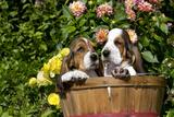 Basset Basket- Basset Hound Pups in Peach Basket  Flowers  Burlington  Wisconsin  USA