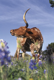 Texas Longhorn Cow with Calf
