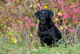 Black Labrador Retriever in Autumn Woodland  Pomfret  Connecticut  USA