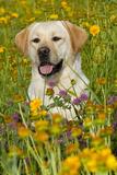 Female Labrador Retriever in Prairie Wildflowers  Geneva  Illinois  USA