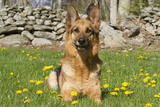 German Shepherd Dog in Meadow in Mid-Spring  Canterbury  Connecticut  USA