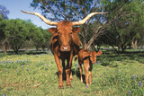 Longhorn Cow Standing with its Calf Among Bluebonnets (Lupine)  Marble Falls  Texas  USA