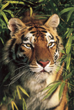 Tiger Portrait by Bamboo Leaves (Captive Animal)