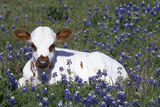 Texas Longhorn Calf in Bluebonnets (Lupine Sp)  Texas Hill Country  Burnet  Texas