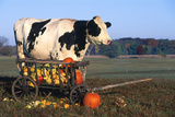Holstein Cow Standing Next to Wooden Wagon and its Load of Gourds  Starks  Illinois  USA