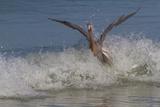 Reddish Egret (Egretta Rufescens) Hunting Small Marine Fish at Surf's Edge