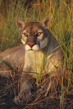 Florida Panther Lying in Sawgrass