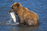 Juvenile Brown Bear (Ursus Arctos Middendorfii)