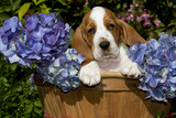 Basset Hound Pup in Flowers  Burlington  Wisconsin  USA