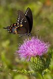 Spicebush Swallowtail Butterfly (Papilio Troilus) Nectaring on Thistle Plant  Unposed
