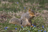 Eastern Gray Squirrel in Spring  Geneva  Illinois  USA