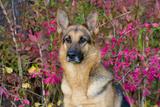 German Shepherd Dog Sitting by Autumn Woodland  Pomfret