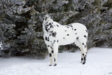 Appaloosa Horse in Snow Squall by Evergreen Trees  Elburn  Illinois  USA