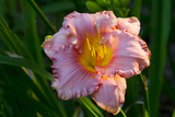 Asiatic Day Lily Bloom in Garden  East Haddam  Connecticut  USA