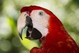 Green-Winged Macaw (Captive)  South America  Excl