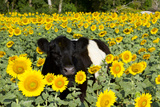 Belted Galloway Cow in Sunflowers  Pecatonica  Illinois  USA
